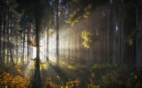Picture forest, trees, dawn, morning, the sun's rays