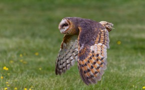Picture flight, nature, background, owl, bird, wings, flies, the barn owl, the scope, flying