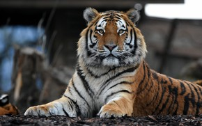 Picture look, face, tiger, portrait, lies, zoo, handsome