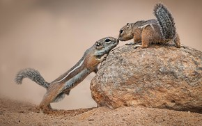 Picture stone, a couple, antelope-squirrels