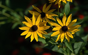 Picture light, flowers, the dark background, Bush, yellow, garden, rudbeckia, Echinacea