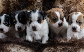 Picture puppies, kids, Danish-Swedish farmdog, doggie