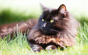 Picture cat, grass, cat, look, black, lies