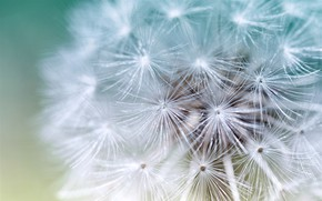 Picture dandelion, plant, blade of grass