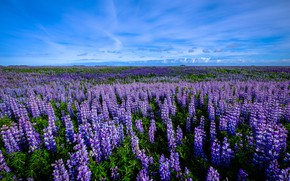 Picture field, the sky, flowers, lavender
