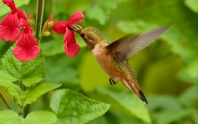 Picture flowers, Hummingbird, Martin Dollenkamp