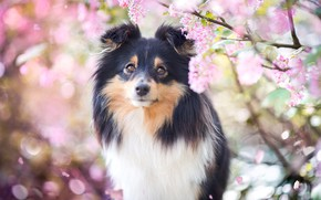 Picture look, face, light, flowers, branches, background, portrait, dog, spring, petals, garden, puppy, pink, flowering, inflorescence, …