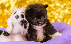 Picture black, toy, dog, baby, puppy, a couple, Spitz