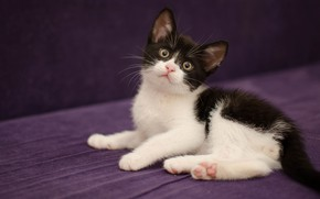 Picture cat, look, face, pose, the dark background, kitty, black and white, fabric, lies, purple background