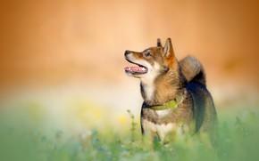 Picture grass, orange, background, portrait, dog, teeth, profile, looking up, Shiba inu