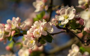 Picture flowers, branches, spring, Apple, flowering, flowering tree, Apple blossoms