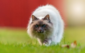 Picture cat, cat, look, pose, glade, the fence, muzzle, walk, sneaks, ragdoll