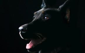 Picture pet, doberman, guard dog