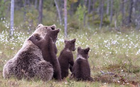 Picture forest, background, glade, family, bears, bears, bear
