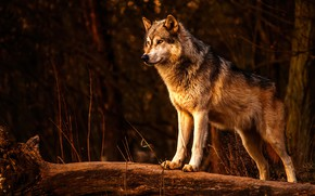 Picture forest, nature, dog, wolf