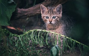 Picture cat, kitty, baby, wild, forest