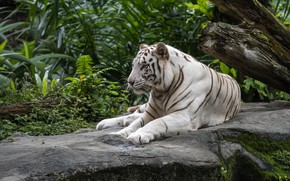 Picture white, leaves, nature, tiger, lies