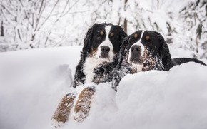 Picture winter, dogs, snow, branches, two, dog, pair, the snow, muzzle, two dogs, Bernese mountain dog