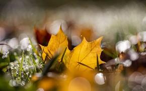 Picture autumn, grass, drops, light, yellow, nature, Rosa, foliage, leaf, bokeh, maple, autumn leaf