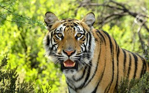 Picture look, face, tiger, predator, wild cat