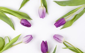Picture flowers, purple, tulips, flowers, beautiful, tulips, spring, purple