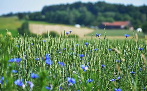 Picture wheat, flowers, nature, village, meadow, blue, houses, ears, cereals, blue, a lot, wheat field, cornflowers, …
