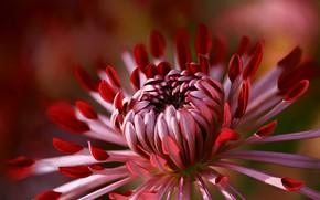 Wallpaper flower, macro, background, petals, red, scarlet, Dahlia, grade