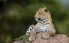 Picture look, face, nature, pose, green, background, stone, paws, leopard, lies, profile, wild cat, blurred background, …