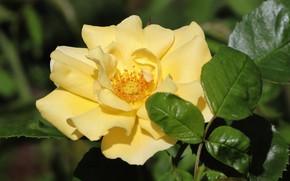 Picture flower, leaves, macro, rose, petals, garden, yellow