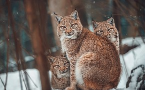 Picture winter, forest, look, face, snow, trees, branches, nature, portrait, three, lynx, trio, snowfall, lynx, mom, …
