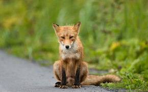 Picture road, greens, summer, grass, look, face, nature, pose, paws, Fox, tail, red, sitting, green background, ...