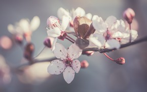 Picture flowers, background, branch, spring, Apple, flowering