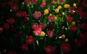 Picture field, light, flowers, the dark background, spring, yellow, tulips, red, buds, flowerbed, different