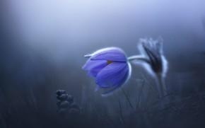 Picture flower, blue, fog, glade, spring, cross