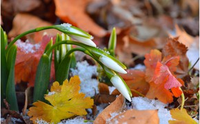 Picture Snow, Foliage, Snow, Snowdrops, Leaves, Snowdrops