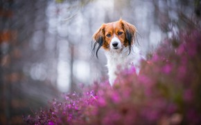 Picture forest, look, face, light, flowers, nature, glare, Park, background, portrait, dog, red, pink, bokeh, Heather, ...
