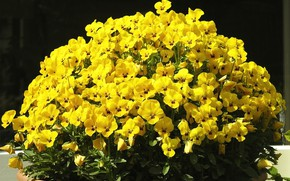 Picture summer, Pansy, flowerbed, yellow flowers