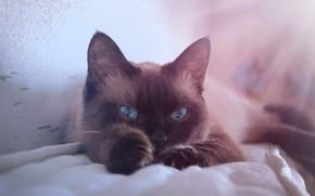 Picture cat, sofa, lies, Siamese, Thai