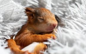 Picture sleep, protein, sleeping, fur, light background, squirrel