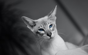 Picture cat, cat, look, face, portrait, blue eyes, grey background, monochrome, handsome