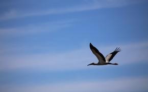 Picture the sky, bird, stork, flight