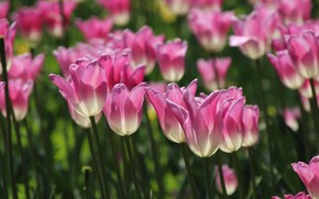 Picture light, tulips, pink