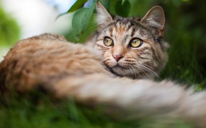 Picture cat, summer, grass, cat, look, face, nature, background, stay, portrait, blur, tail, lies, striped, kitty