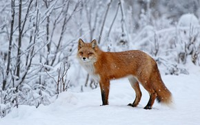 Picture winter, forest, look, snow, trees, branches, nature, Fox, the snow, red, face, light background, snowfall