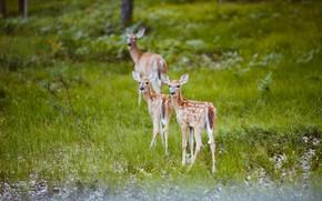 Picture grass, nature, deer, calves