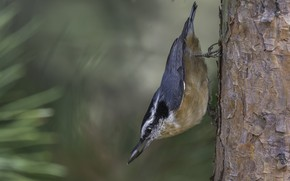 Picture trunk, bird, nuthatch