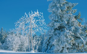 Picture winter, forest, the sky, snow, trees, blue, tree, spruce, snowy