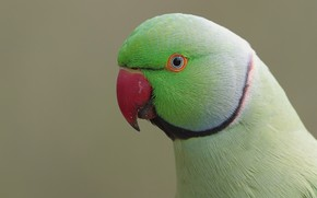 Picture green, cute, male, parakeet