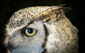Picture eyes, owl, beak, Bengal eagle owl