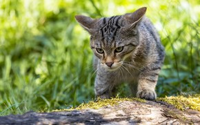 Picture cat, grass, cat, look, face, light, pose, grey, log, striped, sneaks, bokeh, wild, forest, wildcat, …